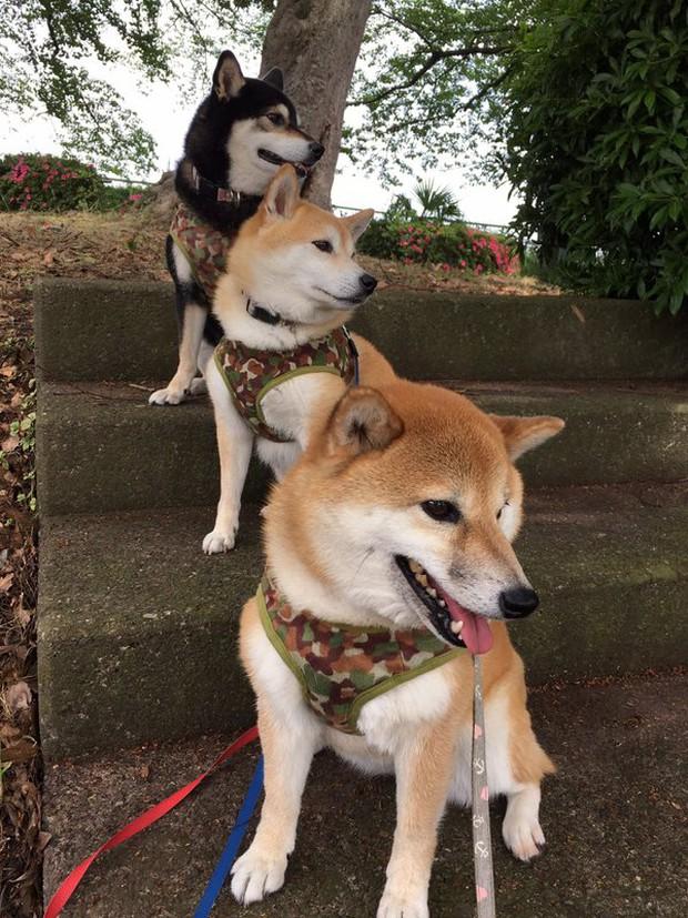 Quên hết mệt mỏi khi ngắm hình ảnh 3 anh em nhà cún Shiba Inu đi đâu cũng có nhau - Ảnh 30.