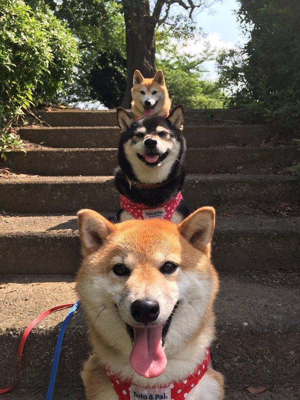 Quên hết mệt mỏi khi ngắm hình ảnh 3 anh em nhà cún Shiba Inu đi đâu cũng có nhau - Ảnh 28.