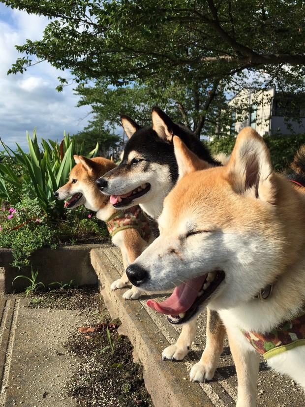 Quên hết mệt mỏi khi ngắm hình ảnh 3 anh em nhà cún Shiba Inu đi đâu cũng có nhau - Ảnh 27.