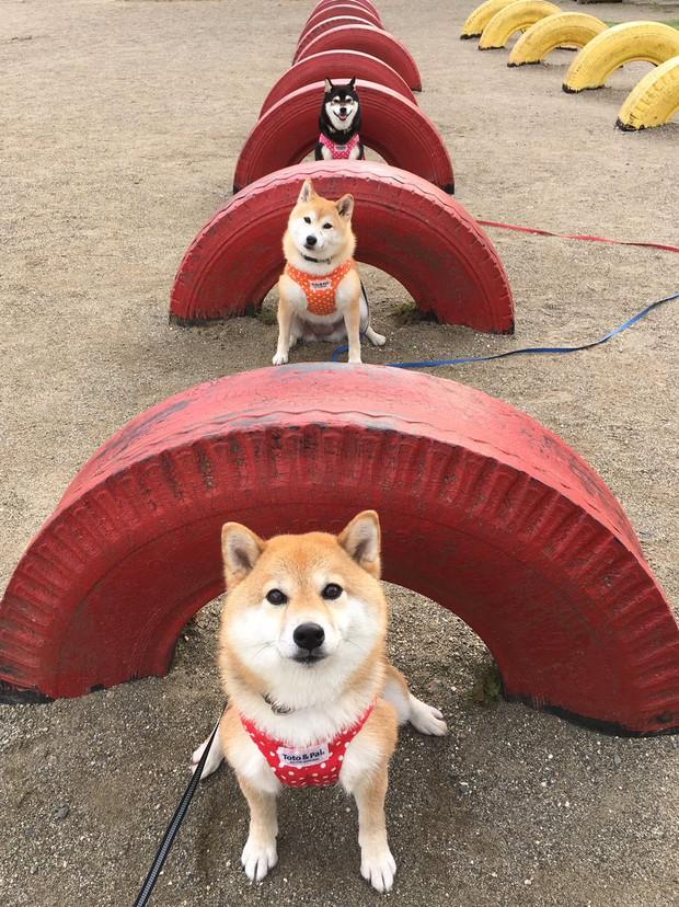 Quên hết mệt mỏi khi ngắm hình ảnh 3 anh em nhà cún Shiba Inu đi đâu cũng có nhau - Ảnh 25.