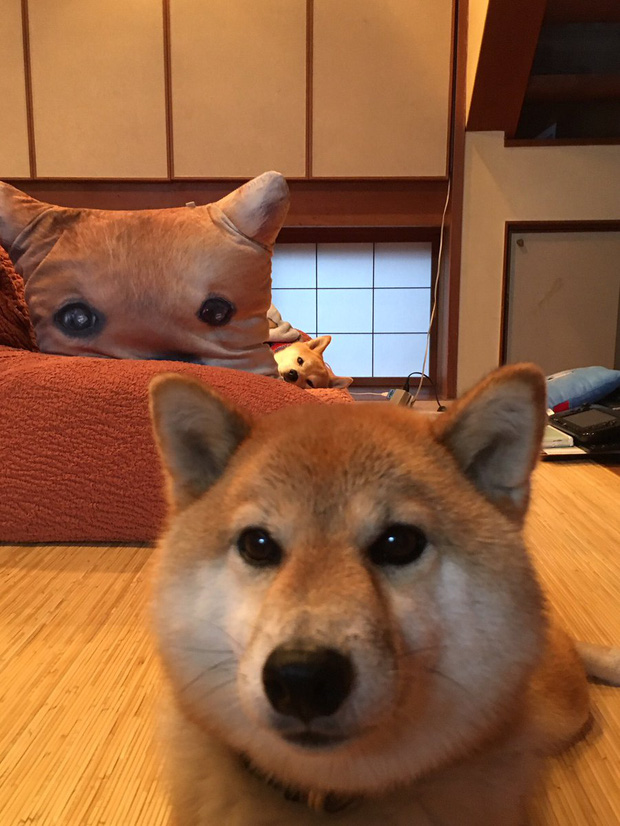 Quên hết mệt mỏi khi ngắm hình ảnh 3 anh em nhà cún Shiba Inu đi đâu cũng có nhau - Ảnh 18.