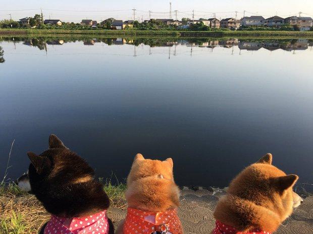 Quên hết mệt mỏi khi ngắm hình ảnh 3 anh em nhà cún Shiba Inu đi đâu cũng có nhau - Ảnh 21.