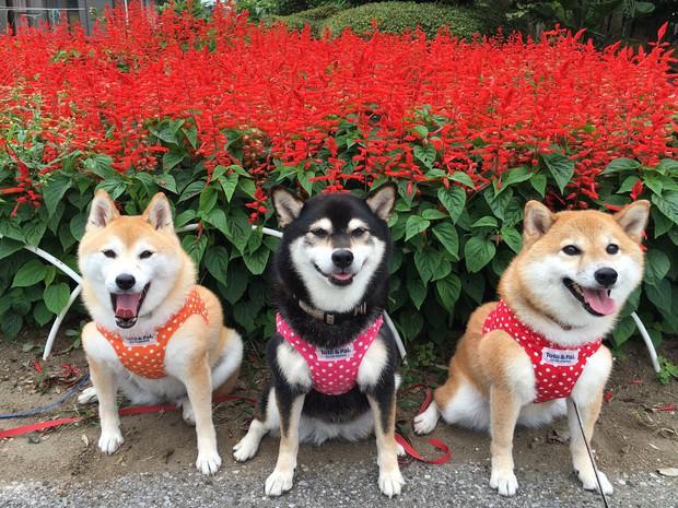 Quên hết mệt mỏi khi ngắm hình ảnh 3 anh em nhà cún Shiba Inu đi đâu cũng có nhau - Ảnh 2.