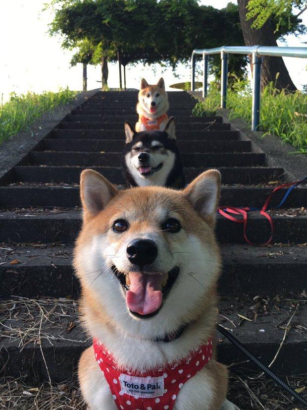 Quên hết mệt mỏi khi ngắm hình ảnh 3 anh em nhà cún Shiba Inu đi đâu cũng có nhau - Ảnh 23.