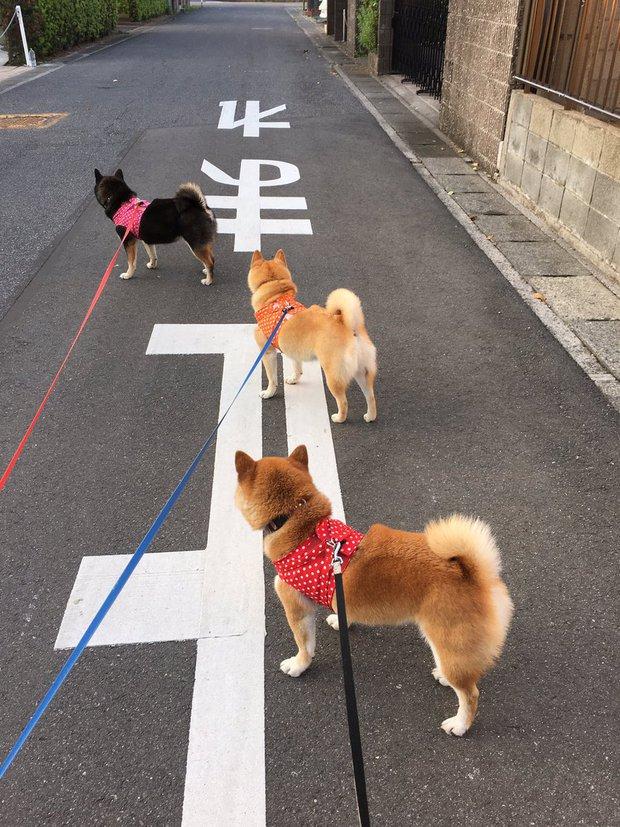 Quên hết mệt mỏi khi ngắm hình ảnh 3 anh em nhà cún Shiba Inu đi đâu cũng có nhau - Ảnh 12.