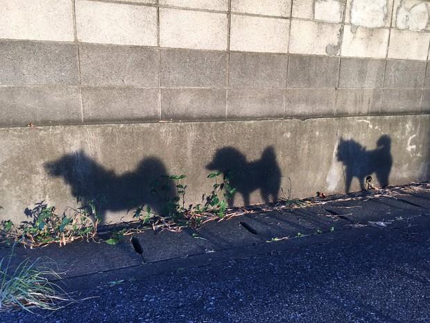 Quên hết mệt mỏi khi ngắm hình ảnh 3 anh em nhà cún Shiba Inu đi đâu cũng có nhau - Ảnh 5.