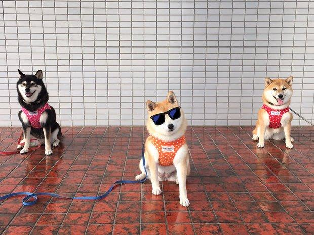 Quên hết mệt mỏi khi ngắm hình ảnh 3 anh em nhà cún Shiba Inu đi đâu cũng có nhau - Ảnh 7.