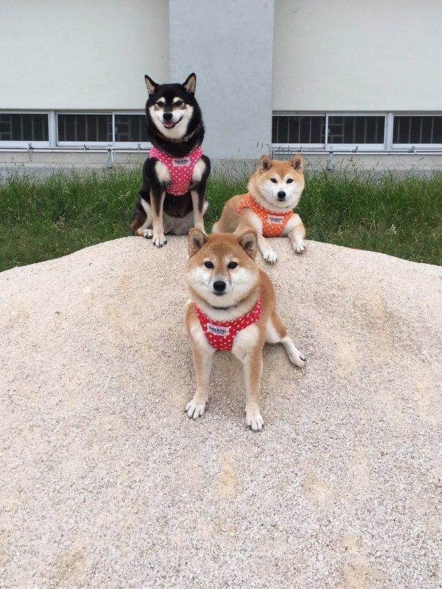 Quên hết mệt mỏi khi ngắm hình ảnh 3 anh em nhà cún Shiba Inu đi đâu cũng có nhau - Ảnh 11.