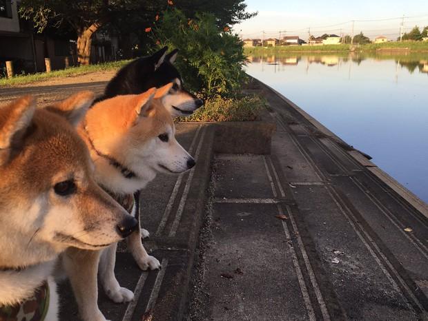 Quên hết mệt mỏi khi ngắm hình ảnh 3 anh em nhà cún Shiba Inu đi đâu cũng có nhau - Ảnh 3.