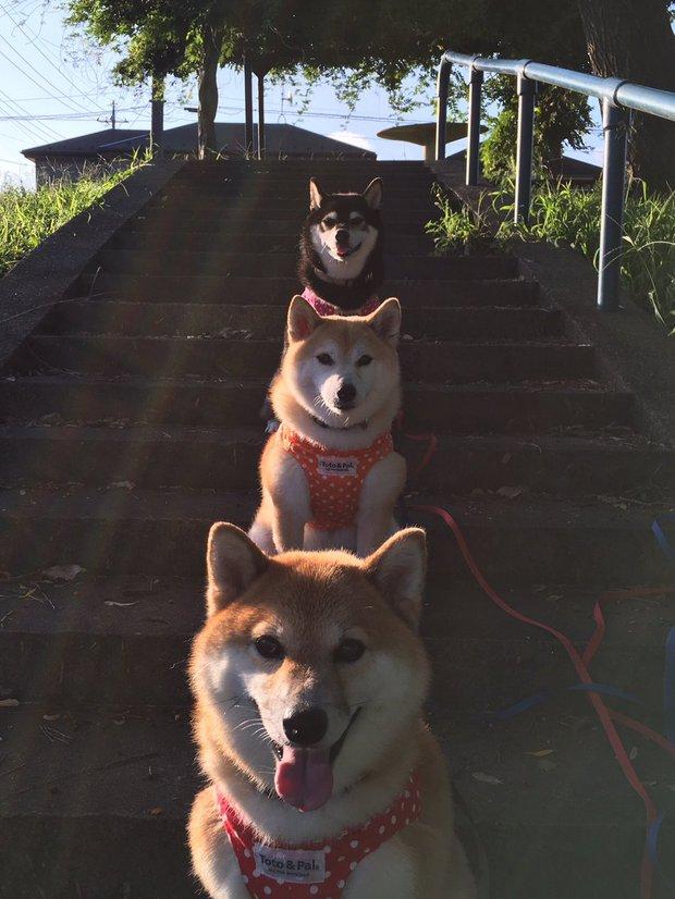 Quên hết mệt mỏi khi ngắm hình ảnh 3 anh em nhà cún Shiba Inu đi đâu cũng có nhau - Ảnh 1.