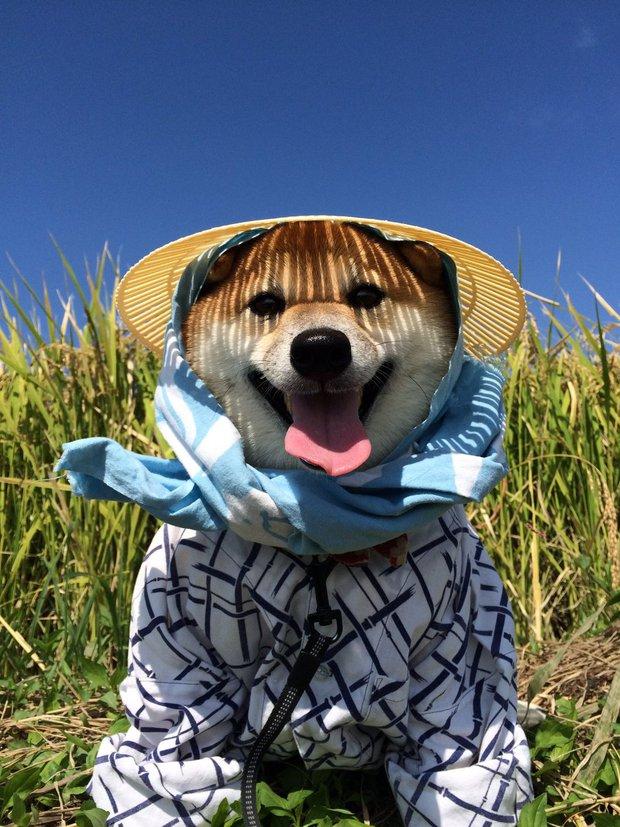 Quên hết mệt mỏi khi ngắm hình ảnh 3 anh em nhà cún Shiba Inu đi đâu cũng có nhau - Ảnh 8.