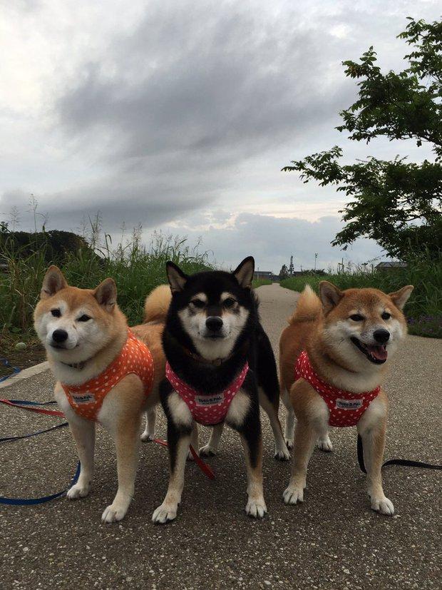 Quên hết mệt mỏi khi ngắm hình ảnh 3 anh em nhà cún Shiba Inu đi đâu cũng có nhau - Ảnh 13.