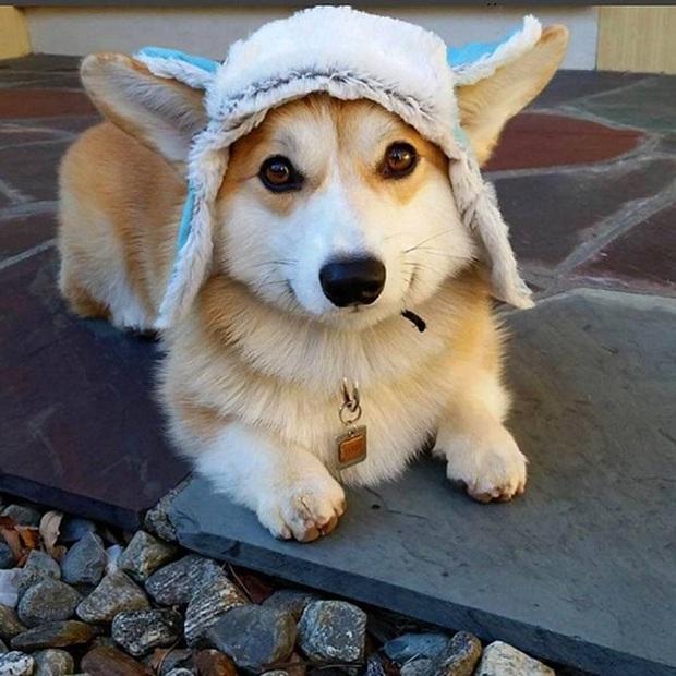Đội mũ len quá dễ thương, chú chó Corgi đã bị các thánh chế ảnh cho lên thớt - Ảnh 1.
