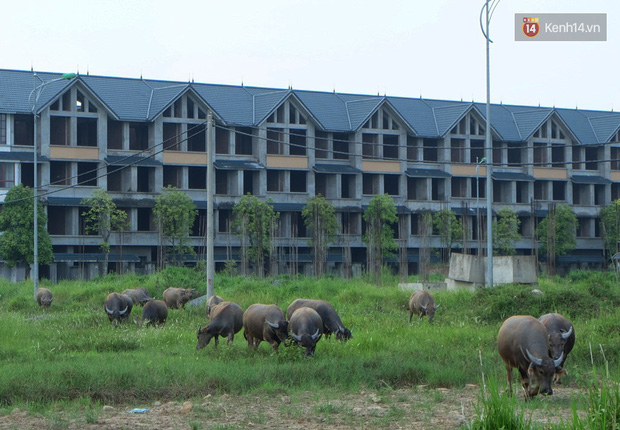 Biệt thự tiền tỷ biến thành nơi nuôi nhốt, chăn thả trâu bò ở Hà Nội - Ảnh 11.