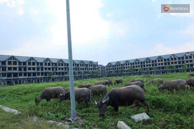 Biệt thự tiền tỷ biến thành nơi nuôi nhốt, chăn thả trâu bò ở Hà Nội - Ảnh 13.
