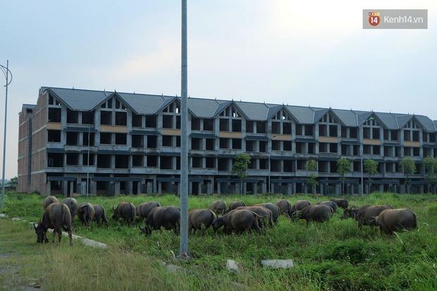 Biệt thự tiền tỷ biến thành nơi nuôi nhốt, chăn thả trâu bò ở Hà Nội - Ảnh 12.