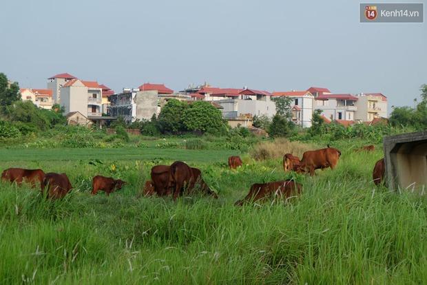 Biệt thự tiền tỷ biến thành nơi nuôi nhốt, chăn thả trâu bò ở Hà Nội - Ảnh 14.