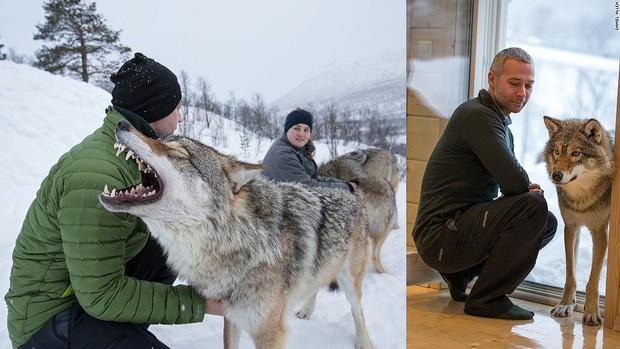 Khách sạn Na Uy nơi du khách được ngủ chung với sói - Ảnh 3.