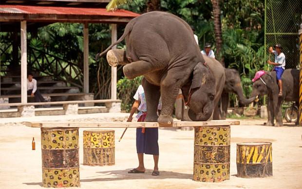 Câu chuyện đau lòng đằng sau những con voi hiền hòa tại Thái Lan - Ảnh 6.