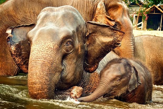 Câu chuyện đau lòng đằng sau những con voi hiền hòa tại Thái Lan - Ảnh 10.