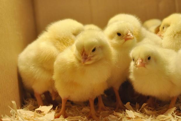 Băng chuyền tử thần: Nơi hàng nghìn chú gà con bị nghiền nát mỗi ngày - Ảnh 3.