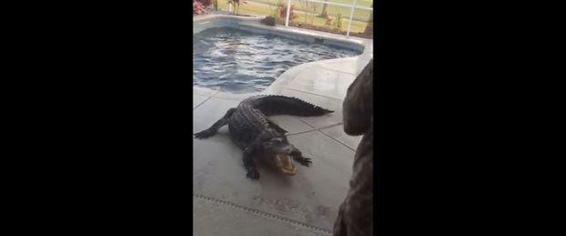 Hoảng hồn phát hiện cá sấu khổng lồ nằm chình ình dưới bể bơi của gia đình - Ảnh 3.