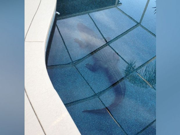 Hoảng hồn phát hiện cá sấu khổng lồ nằm chình ình dưới bể bơi của gia đình - Ảnh 2.