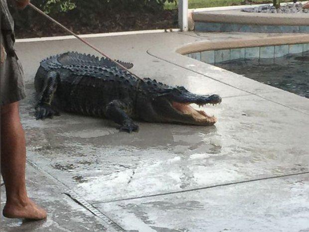Hoảng hồn phát hiện cá sấu khổng lồ nằm chình ình dưới bể bơi của gia đình - Ảnh 4.
