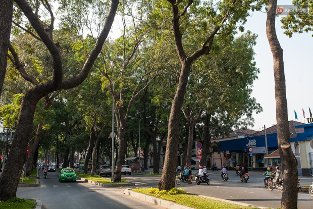 TPHCM: Ngắm nhìn hàng cây xanh trên đường Tôn Đức Thắng trước khi 300 cây sẽ bị chặt hạ - Ảnh 2.