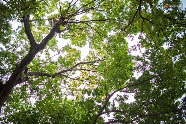 TPHCM: Ngắm nhìn hàng cây xanh trên đường Tôn Đức Thắng trước khi 300 cây sẽ bị chặt hạ - Ảnh 10.