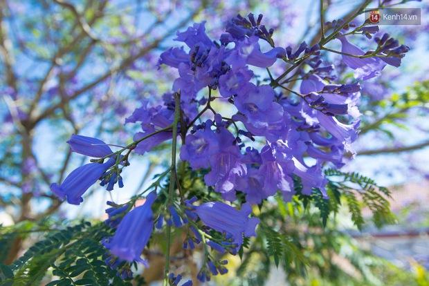 Chỉ Đà Lạt mới có mùa hoa phượng tím dịu dàng đến thế này - Ảnh 3.