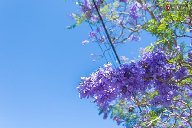 Chỉ Đà Lạt mới có mùa hoa phượng tím dịu dàng đến thế này - Ảnh 4.
