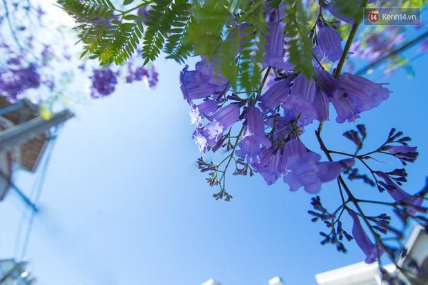 Chỉ Đà Lạt mới có mùa hoa phượng tím dịu dàng đến thế này - Ảnh 5.