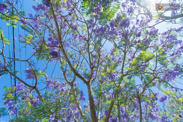 Chỉ Đà Lạt mới có mùa hoa phượng tím dịu dàng đến thế này - Ảnh 6.