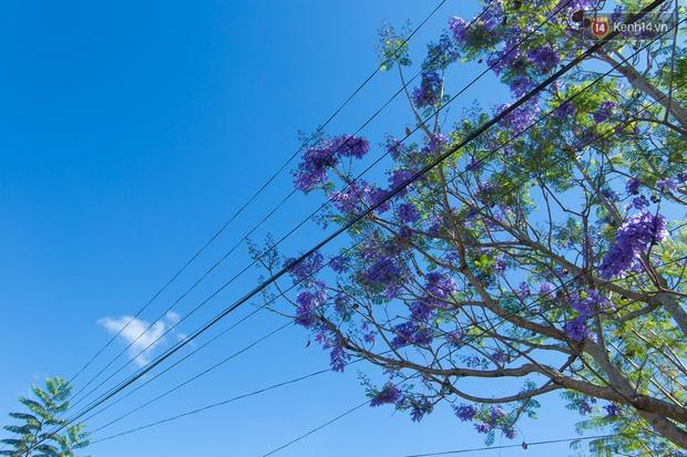 Chỉ Đà Lạt mới có mùa hoa phượng tím dịu dàng đến thế này - Ảnh 9.