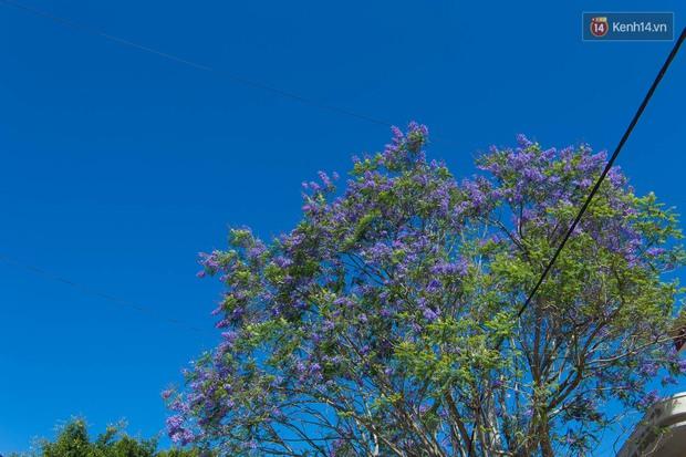 Chỉ Đà Lạt mới có mùa hoa phượng tím dịu dàng đến thế này - Ảnh 2.