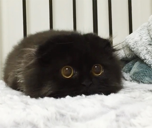 Em mèo mắt to giống hệt nhân vật hoạt hình Ghibli - Ảnh 2.