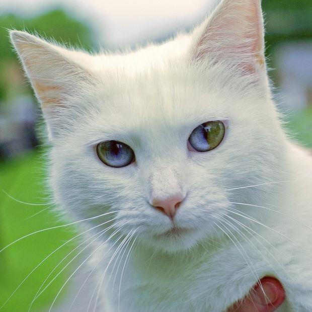 Những chú mèo mang cả dải ngân hà kỳ ảo trong đôi mắt - Ảnh 4.