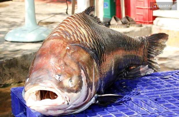 Cá hô nặng 120kg từ Biển Hồ được đưa về phục vụ đại gia Sài Gòn - Ảnh 1.