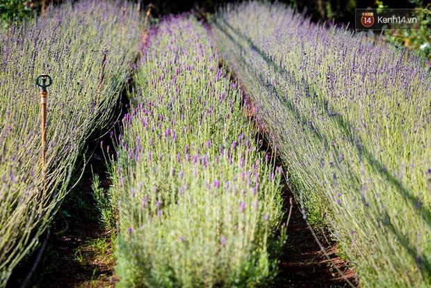 Lần đầu tiên, có cả một vườn hoa oải hương đẹp mê mải ở Đà Lạt! - Ảnh 7.