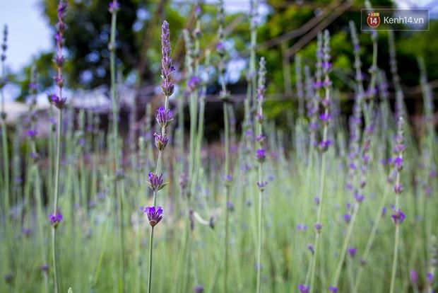 Lần đầu tiên, có cả một vườn hoa oải hương đẹp mê mải ở Đà Lạt! - Ảnh 8.