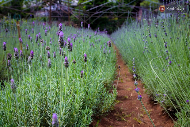 Lần đầu tiên, có cả một vườn hoa oải hương đẹp mê mải ở Đà Lạt! - Ảnh 9.
