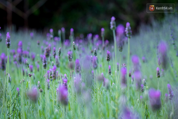 Lần đầu tiên, có cả một vườn hoa oải hương đẹp mê mải ở Đà Lạt! - Ảnh 10.