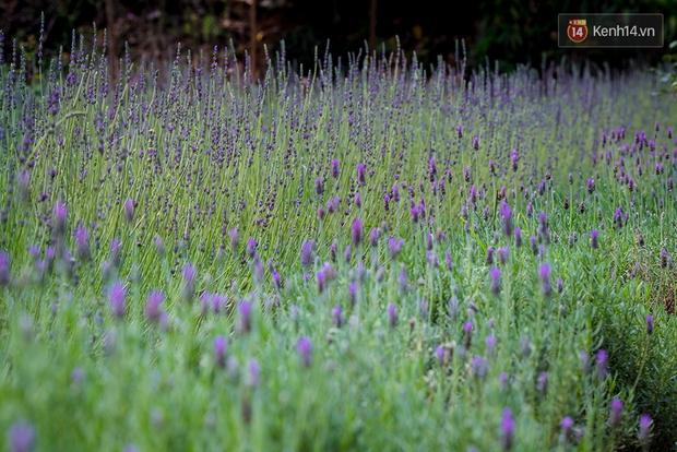 Lần đầu tiên, có cả một vườn hoa oải hương đẹp mê mải ở Đà Lạt! - Ảnh 12.