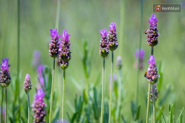 Lần đầu tiên, có cả một vườn hoa oải hương đẹp mê mải ở Đà Lạt! - Ảnh 14.