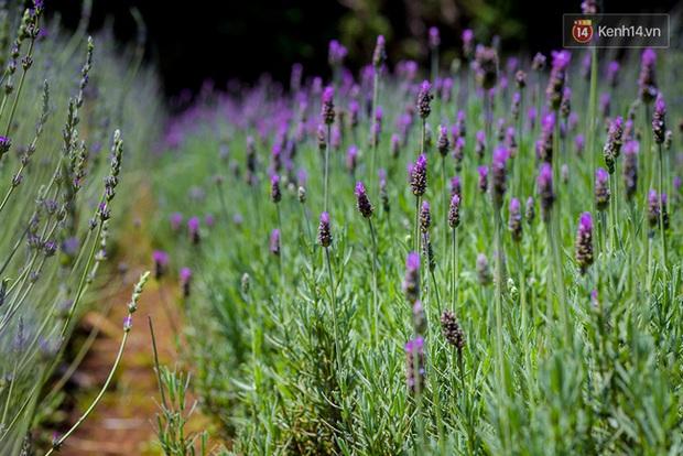 Vườn oải hương ở Đà Lạt đã phải đóng cửa vì hoa bị dập gãy bởi các bạn trẻ đến tham quan - Ảnh 1.
