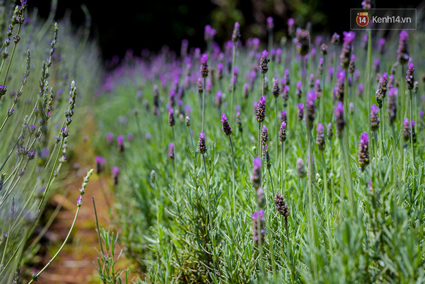 Lần đầu tiên, có cả một vườn hoa oải hương đẹp mê mải ở Đà Lạt! - Ảnh 1.