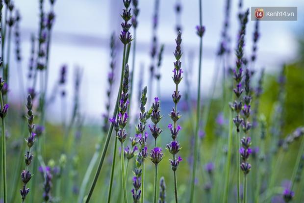 Lần đầu tiên, có cả một vườn hoa oải hương đẹp mê mải ở Đà Lạt! - Ảnh 16.