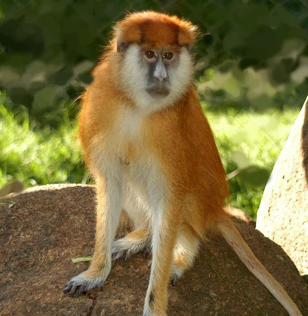 8 sự thiệt ít ai biết về loài khỉ - sinh vật nhí nhố nhất hành tinh - Ảnh 8.