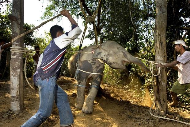 Câu chuyện đau lòng đằng sau những con voi hiền hòa tại Thái Lan - Ảnh 2.